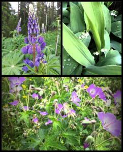 Kukkeaa jo touko-kesäkuun taitteessa